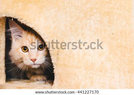 Maine coon kitten closeup portrait. Red tabby bi-color cat looking threw the hole in cat house. Light orange color curious pet. - stock photo