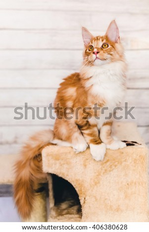 Maine coon kitten closeup portrait. Red tabby cat sitting on natural background with wary ears. Orange color curious pet. - stock photo