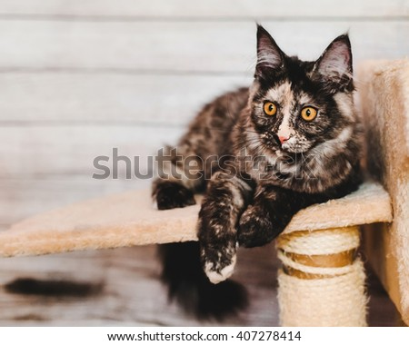 Maine coon kitten closeup portrait. Tortoiseshell cat laying on natural background near cathouse with wary ears. Grey color curious pet. - stock photo