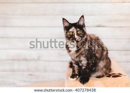 Maine coon kitten closeup portrait. Tortoiseshell cat sitting on natural background with wary ears. Grey color curious pet. - stock photo
