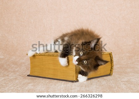 Maine Coon kitten lying down on gold cloth covered book against beige background  - stock photo
