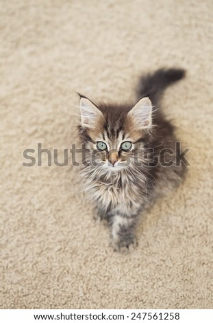 Maine Coon kitten lying on a carpet - stock photo