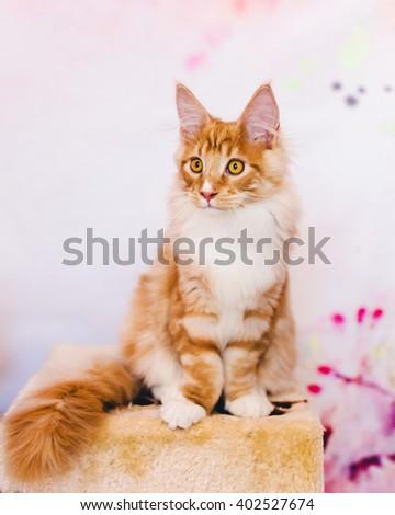 Maine coon kitten. Maine coon cat. Maine coon orange color. Maine coon red tabby kitten. Maine coon portrait. - stock photo