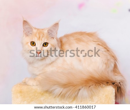 Maine coon kitten. Maine coon closeup portrait. Red tabby bi-color cat lies on natural background. Light orange color curious maine coon pet. Maine coon cat.
