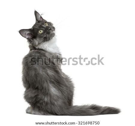 Maine Coon kitten (4 months old) sitting in front of a white background - stock photo