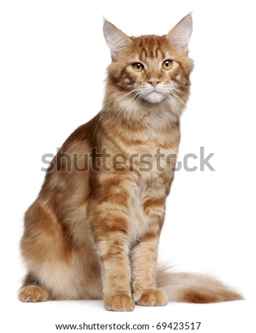 Maine Coon kitten, 9 months old, sitting in front of white background - stock photo
