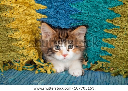 Maine Coon kitten on blue rug carpet against green blue gold background with fringe