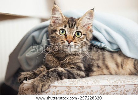 maine coon kitten on the chair - stock photo