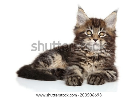 Maine Coon kitten posing on white background