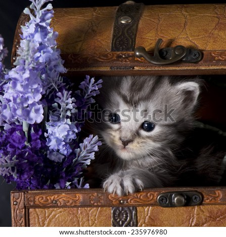 Maine coon kitten     Save to a Lightbox ?              Find Similar Images     Share ?      Maine Coon kitten with flowers  - stock photo