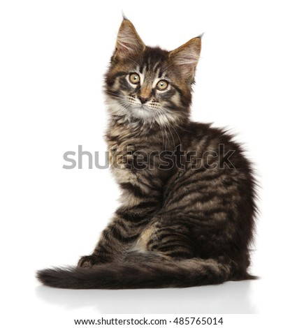 Maine Coon kitten sits in front of white background