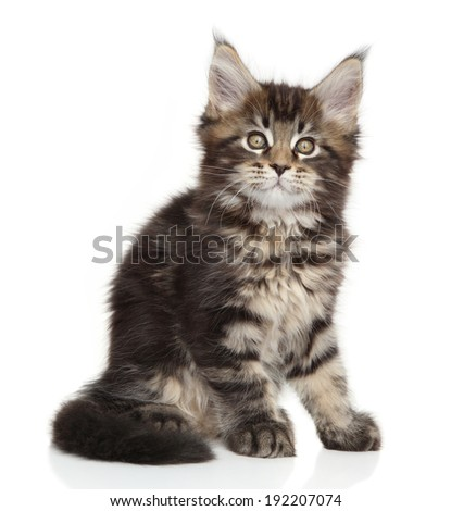 Maine Coon kitten sits on white background