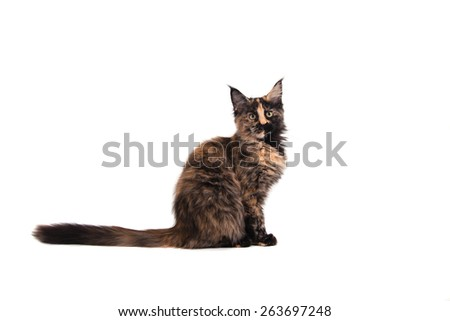 Maine Coon kitten sitting in front of white background. Cat sitting. Cat three months. - stock photo