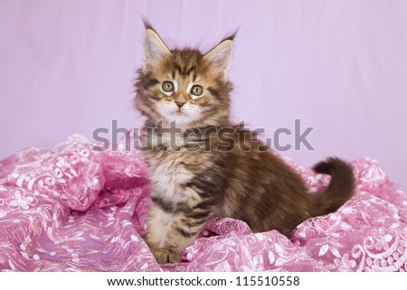 Maine coon kitten sitting in pink lace on lilac pink background