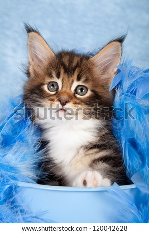 Maine Coon kitten sitting inside blue bucket with blue feather boa on blue background - stock photo