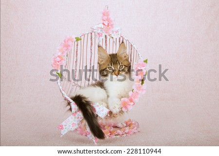 Maine Coon kitten sitting inside metal round swing chair covered with ribbon bows and flowers on pink background  - stock photo