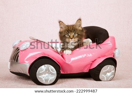 Maine Coon kitten sitting inside pink toy car on pink background