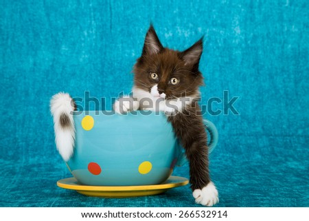 Maine Coon kitten sitting inside polka dot large cup with saucer on blue background  - stock photo