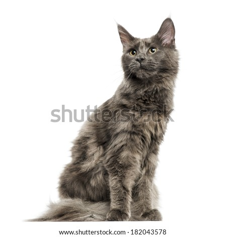 Maine Coon kitten sitting, looking away, 6 months old, isolated on white