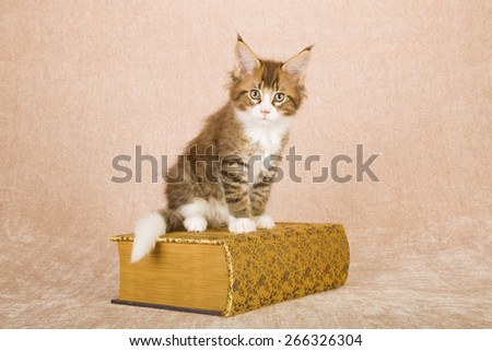 Maine Coon kitten sitting on gold cloth covered book against beige background  - stock photo