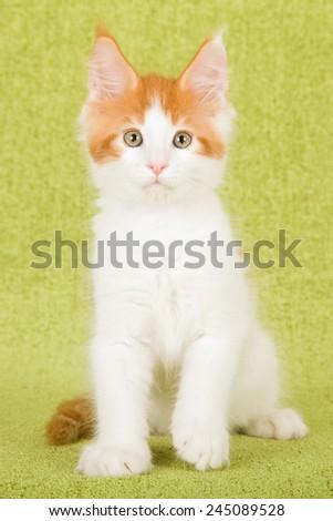 Maine Coon kitten sitting on green background  - stock photo