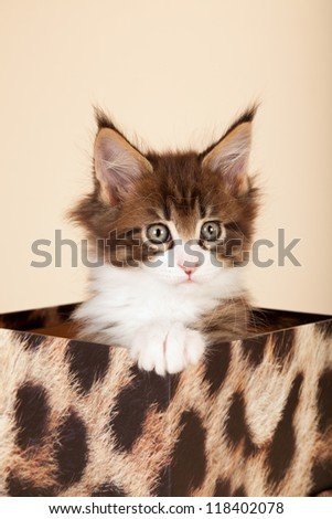 Maine Coon kitten sitting on leopard print gift box on beige background - stock photo