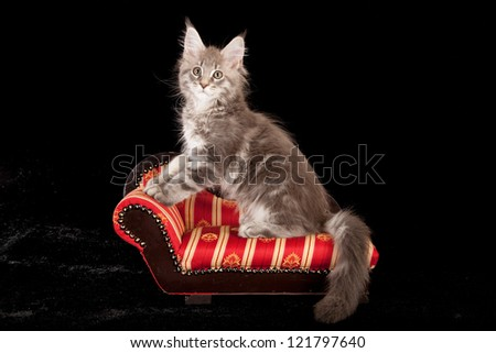 Maine Coon kitten sitting on miniature chaise sofa chair on black background - stock photo
