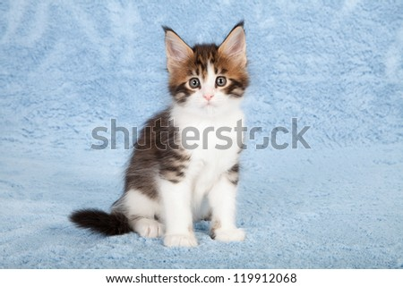 Maine Coon kitten sitting on pale blue fake faux fur background - stock photo