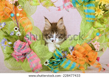 Maine Coon kitten smelling a flower while sitting inside green Spring wreath decorated with flowers ribbons and bows on pink background