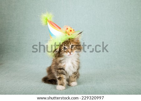 Maine coon kitten wearing cone shaped birthday hat