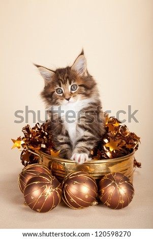 Maine Coon kitten with bronze christmas festive decorations - stock photo