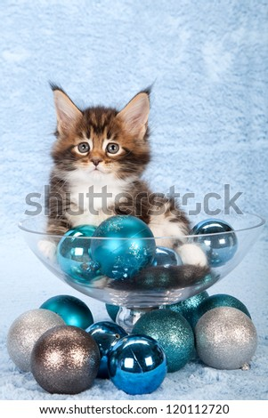 Maine Coon kitten with Christmas baubles and glass vase on blue background