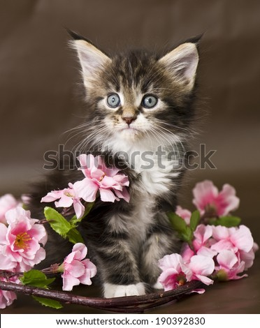 Maine Coon kitten with  flowers - stock photo