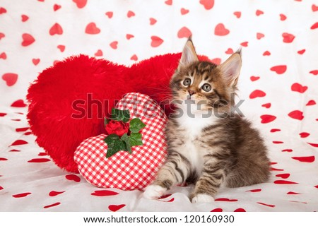 Maine Coon kitten with valentine theme heat print background fabric and heart shaped cushions - stock photo