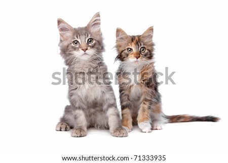 maine coon kittens - stock photo