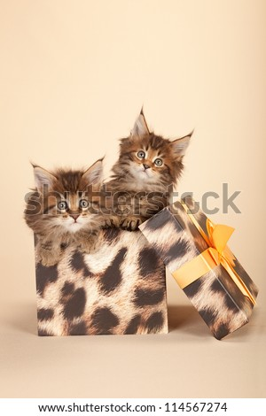 Maine Coon kittens inside leopard print gift box on beige background - stock photo