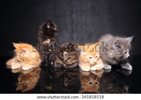 Maine Coon kittens on a black background - stock photo