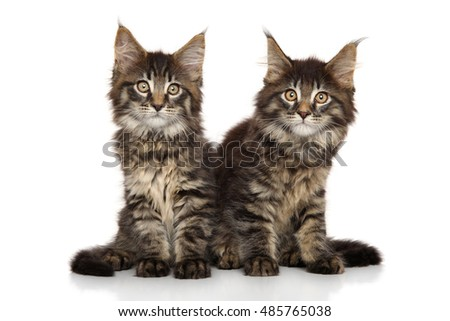 Maine Coon kittens posing on a white background