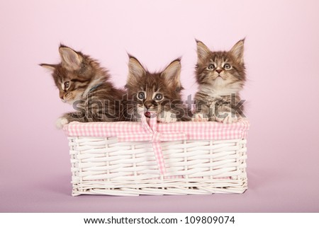 Maine Coon kittens sitting in white wicker basket on lilac pink background - stock photo