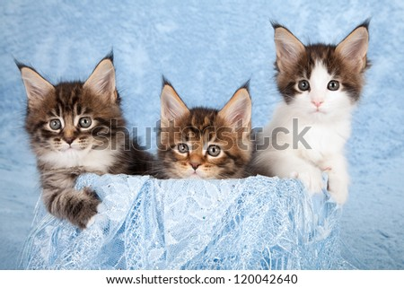 Maine Coon kittens sitting inside blue container with blue scarf on blue background - stock photo