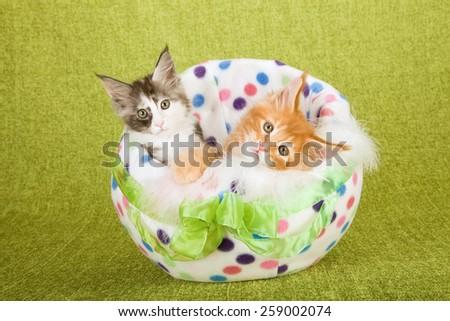 Maine Coon kittens sitting inside fabric polka dot Easter egg on green background  - stock photo