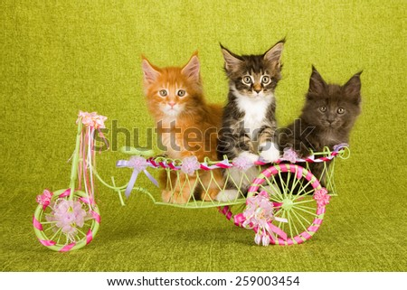 Maine Coon kittens sitting inside green cart decorated with ribbons and bows on green background - stock photo