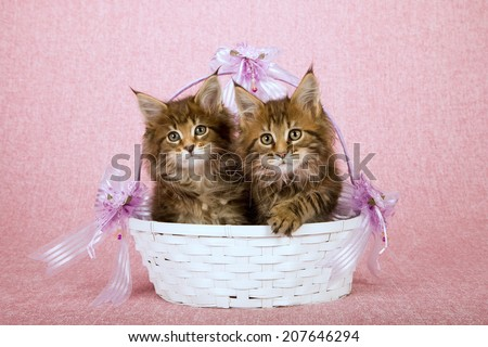 Maine Coon kittens sitting inside white basket decorated with lilac lavender ribbons bows on pink background