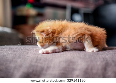 Maine coon little red tabby kitten at home - stock photo