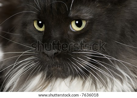 Maine Coon (11 months) kitten in front of a white background - stock photo