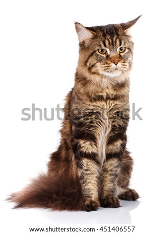 Maine Coon, 7 months old, sitting and looking ahead in front of white background, studio shot