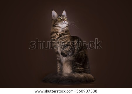 Maine Coon on a brown background isolated - stock photo