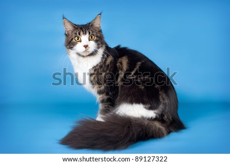 Maine coon on blue background - stock photo