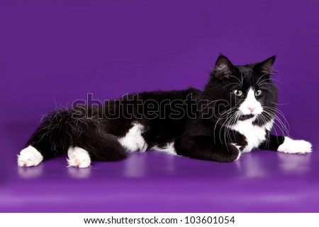 Maine coon on violet background - stock photo