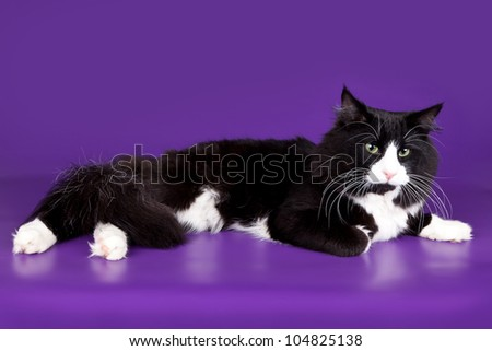 Maine coon on violet background